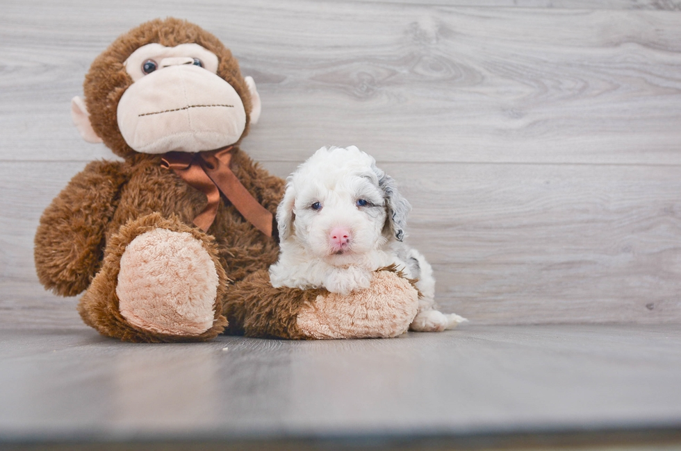 5 week old Mini Sheepadoodle Puppy For Sale Premier Pups