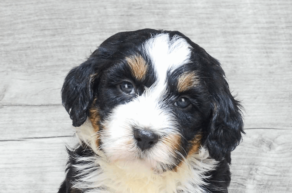 Miniature Bernedoodle Puppies For Sale Premier Pups Located In Ohio