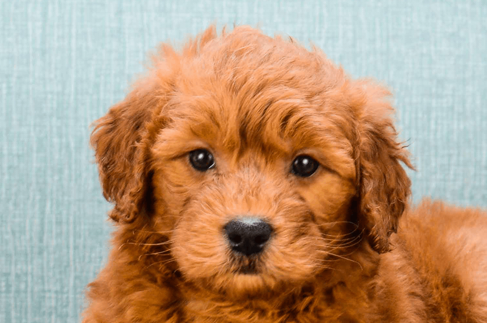 Mini Goldendoodle Puppies For Sale Online