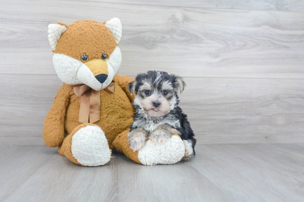 6 week old Morkie Puppy For Sale Premier Pups