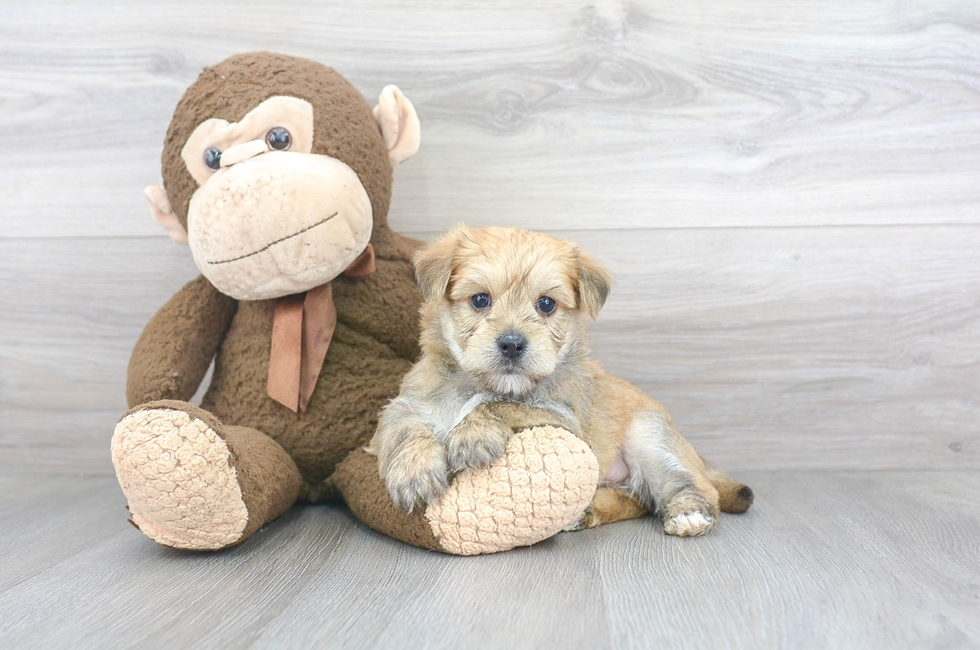 7 week old Morkie Puppy For Sale Premier Pups