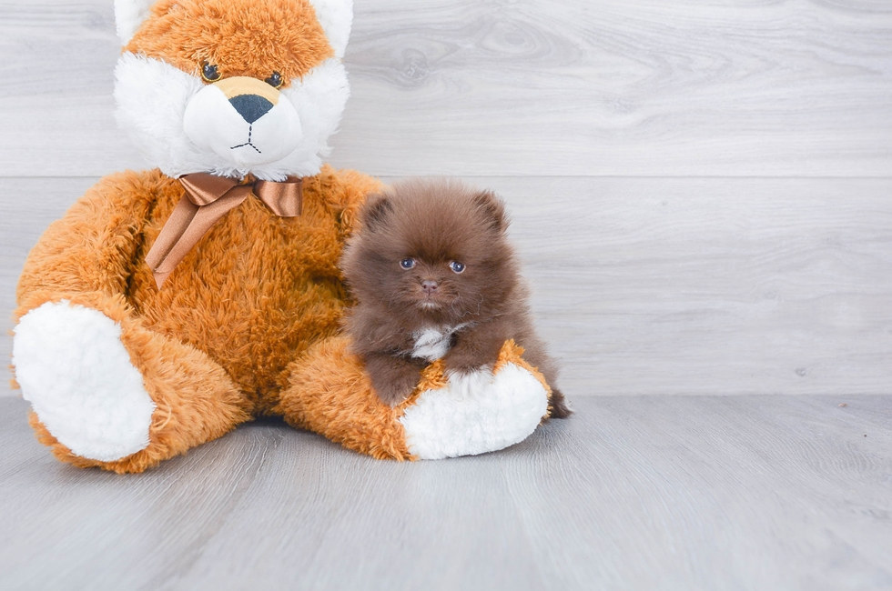 5 week old Pomeranian Puppy For Sale Premier Pups