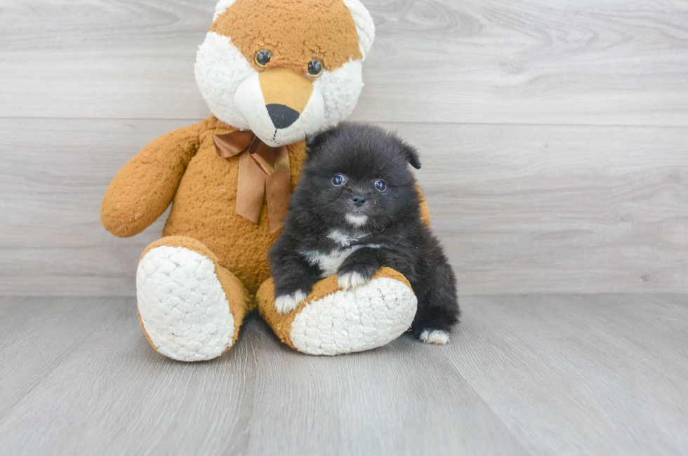 7 week old Pomeranian Puppy For Sale Premier Pups