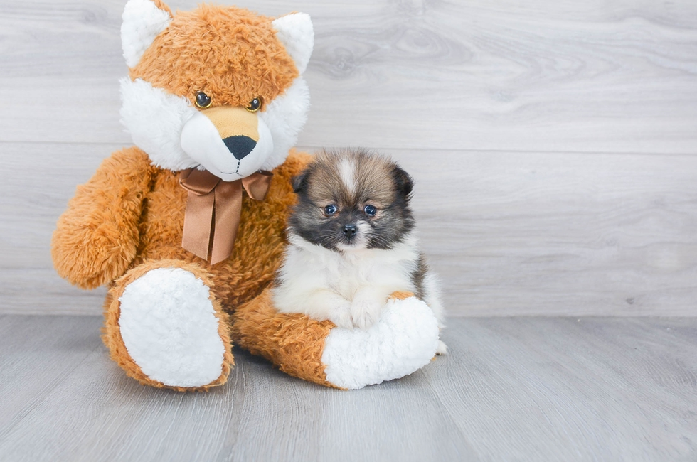 6 week old Pomeranian Puppy For Sale Premier Pups