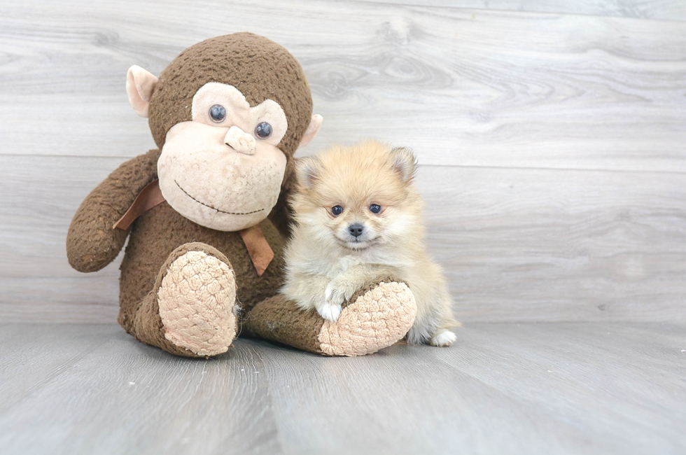8 week old Pomeranian Puppy For Sale Premier Pups