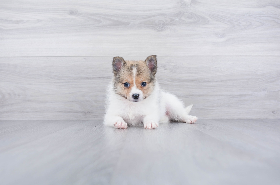 6 week old Pomsky Puppy For Sale Premier Pups