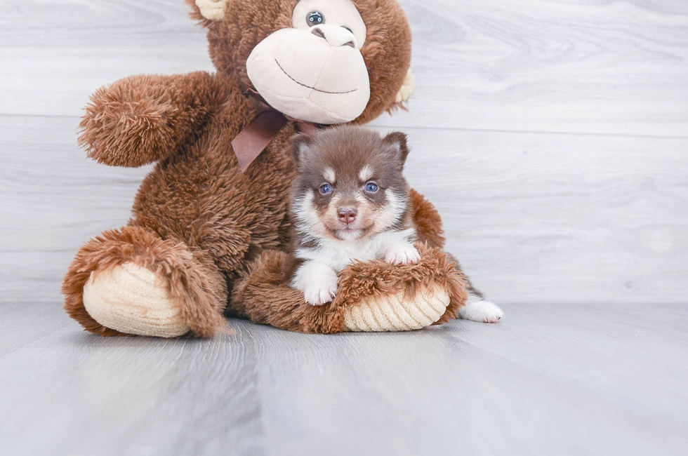 F1 POMSKY PUPPY - 6 week old Pomsky for sale