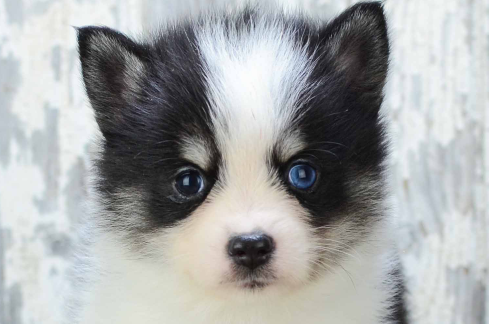 Pomsky puppies for sale | Small cross puppies breeds for