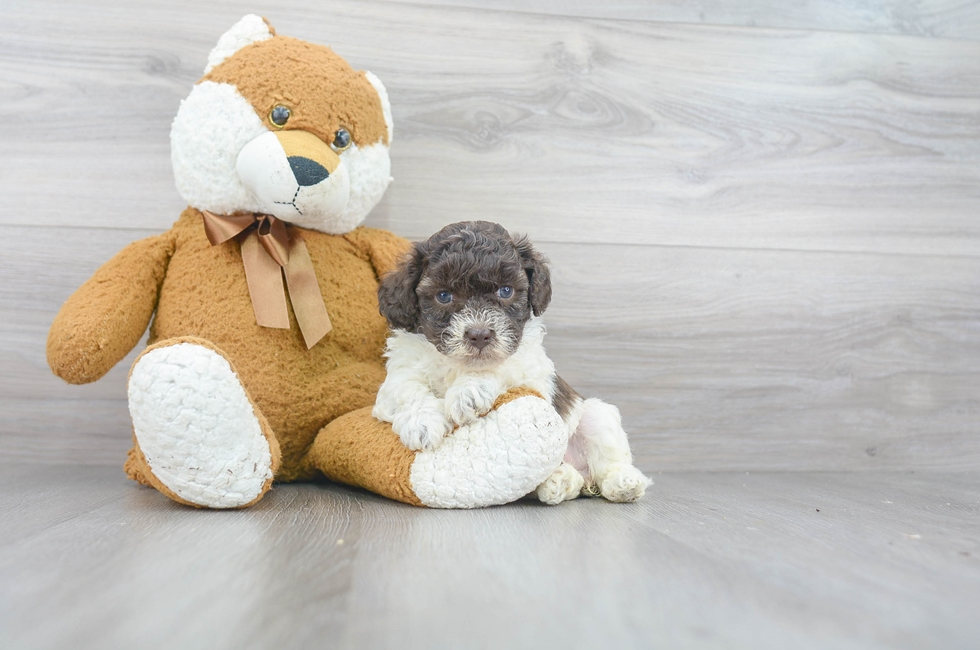 6 week old Poochon Puppy For Sale Premier Pups