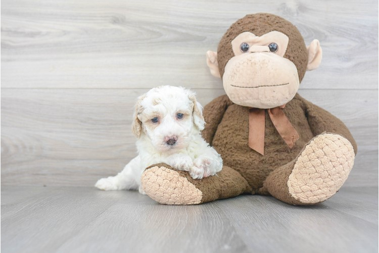 Poochon Puppy For Sale Premier Pups