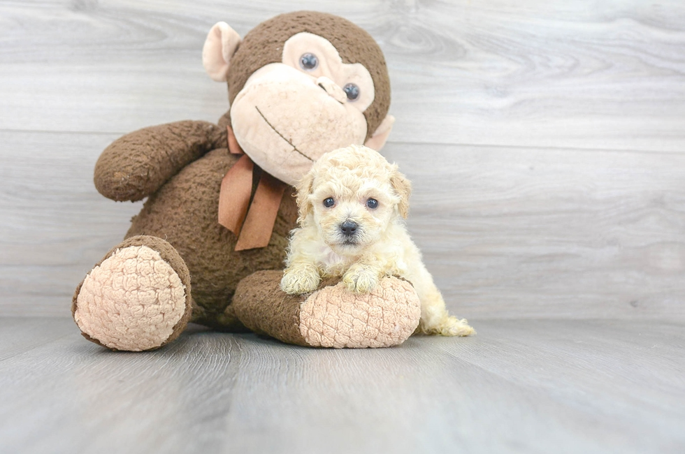 8 week old Poochon Puppy For Sale Premier Pups