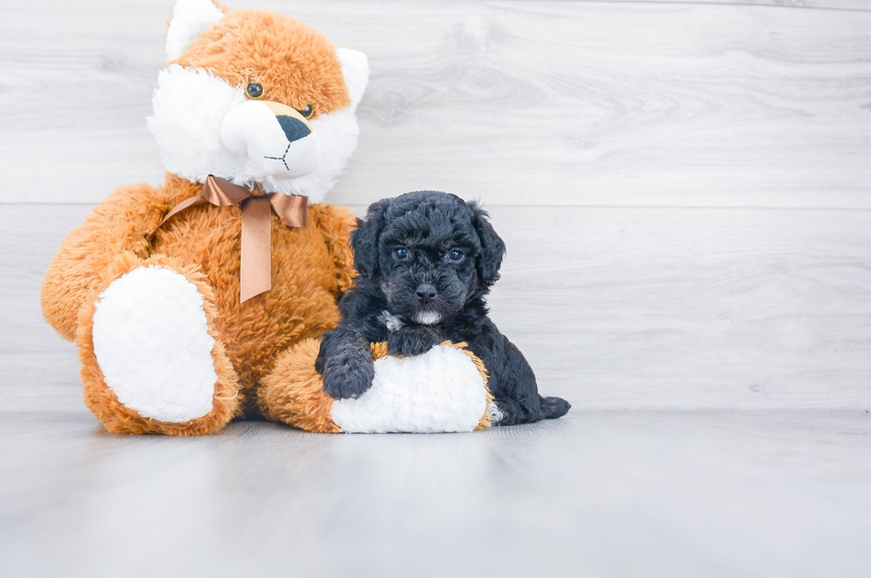 POOCHON PUPPY - 6 week old Poochon for sale