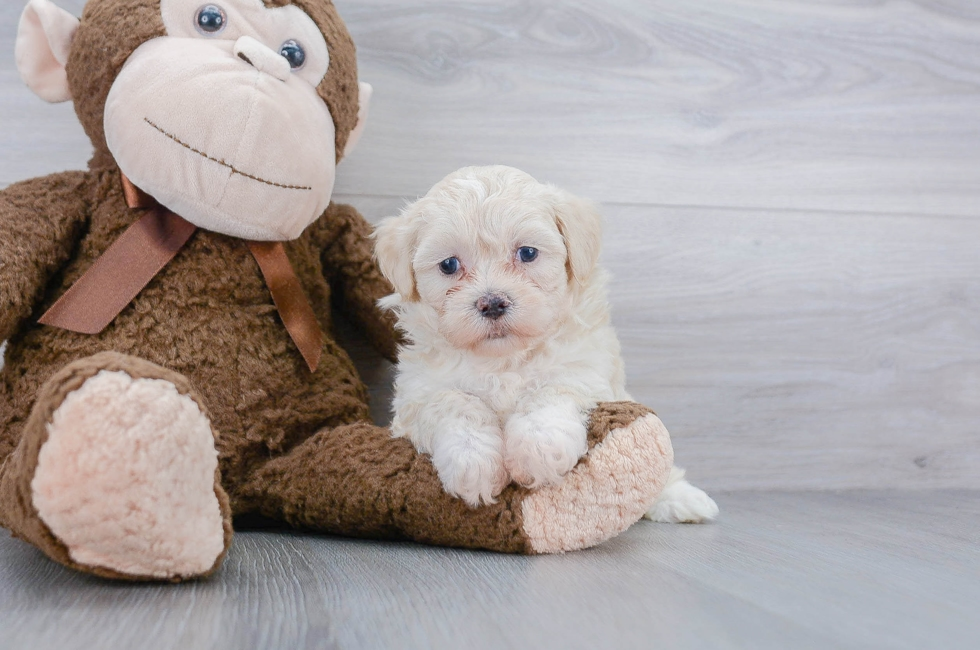 7 week old Poochon Puppy For Sale Premier Pups