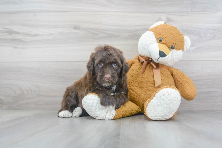 Portuguese Water Dog Puppy For Sale Premier Pups