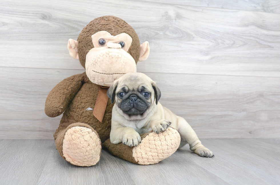 7 week old Pug Puppy For Sale Premier Pups