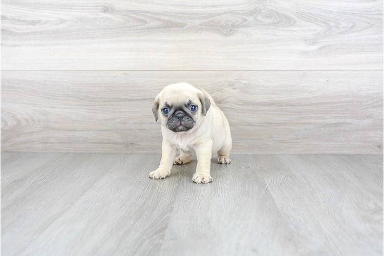 Pug Puppy For Sale Premier Pups