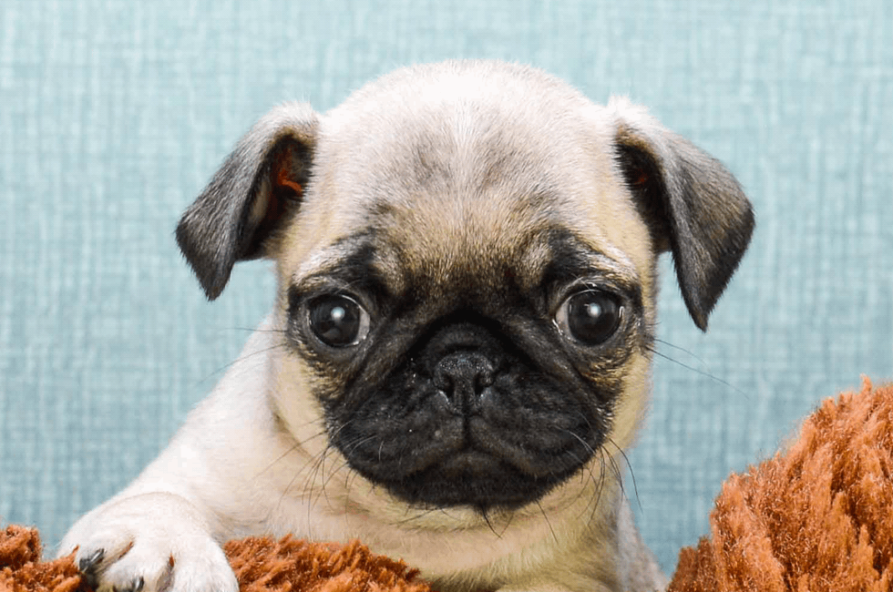 Pug Puppies For Sale Small Purebred Puppies For Sale In Ohio