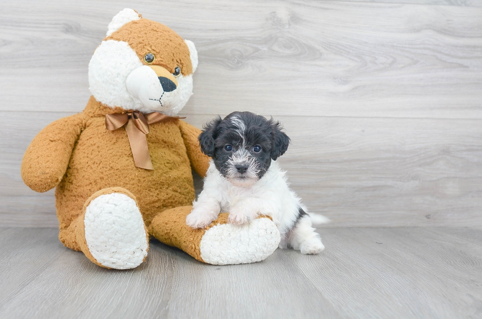 6 week old Shih Poo Puppy For Sale Premier Pups