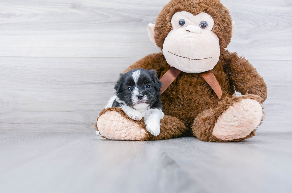 SHIH POO PUPPY - 5 week old Shih Poo for sale