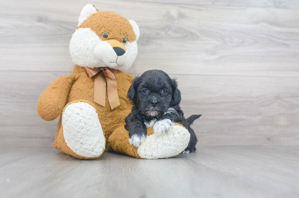8 week old Shih Poo Puppy For Sale Premier Pups
