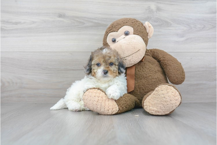 Shih Poo Puppy For Sale Premier Pups