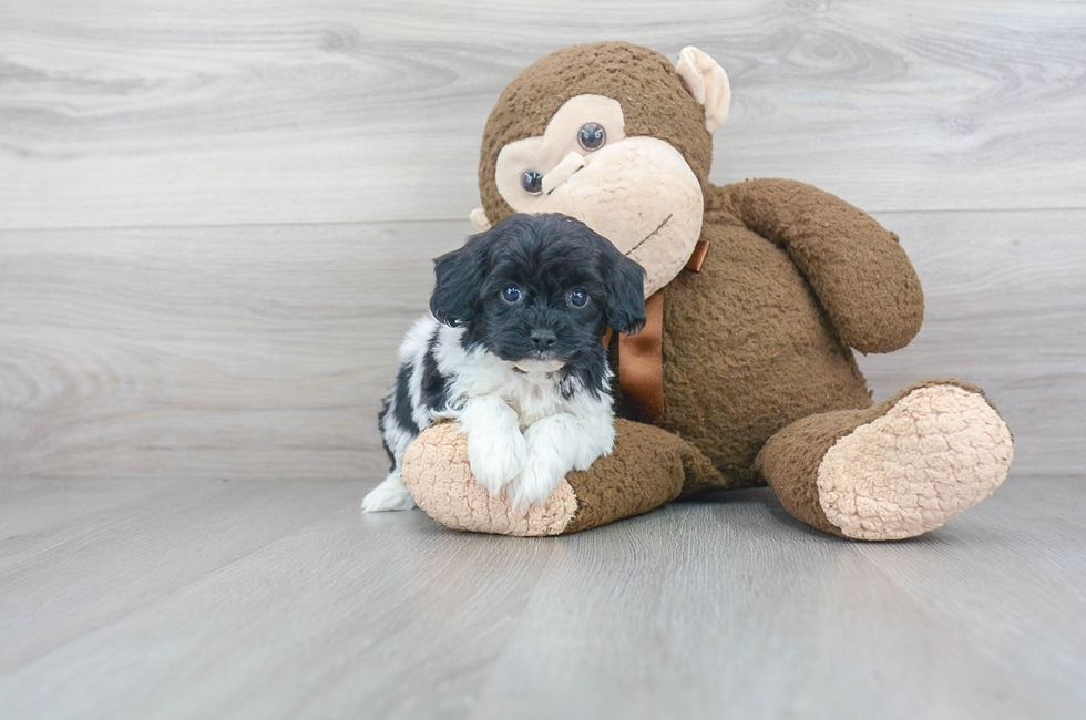 7 week old Shih Poo Puppy For Sale Premier Pups