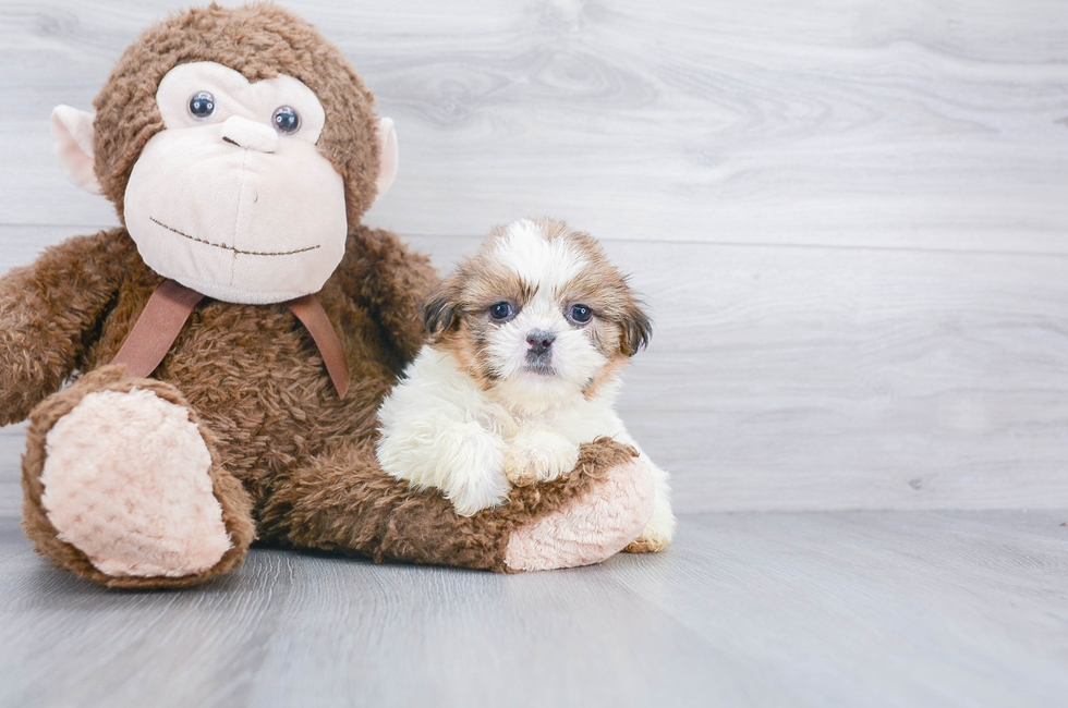 8 week old Shih Tzu Puppy For Sale Premier Pups