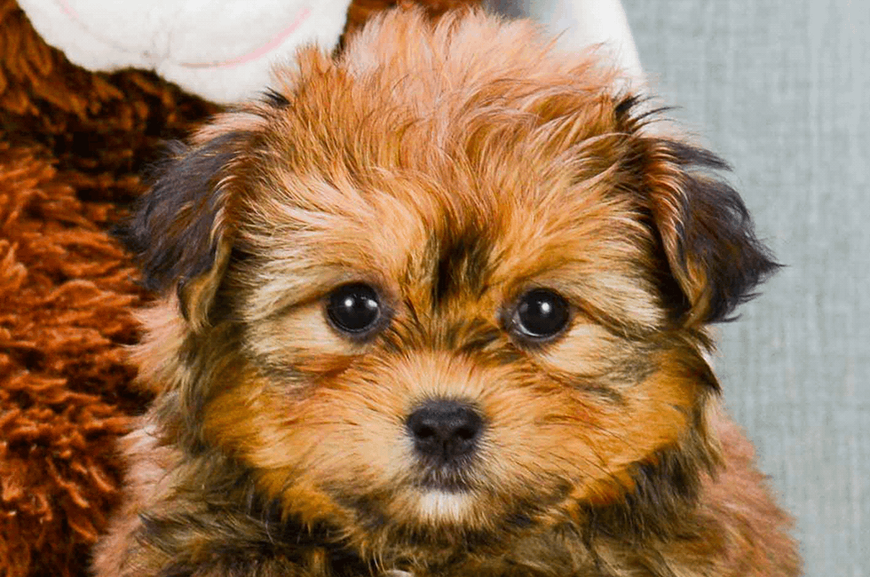 Shorkie Puppies For Sale Online Comfortable Us Shipping