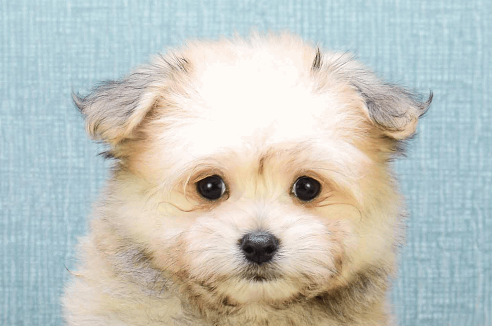 Maltipom Puppies For Sale Designer Small Breed Puppies For Sale In