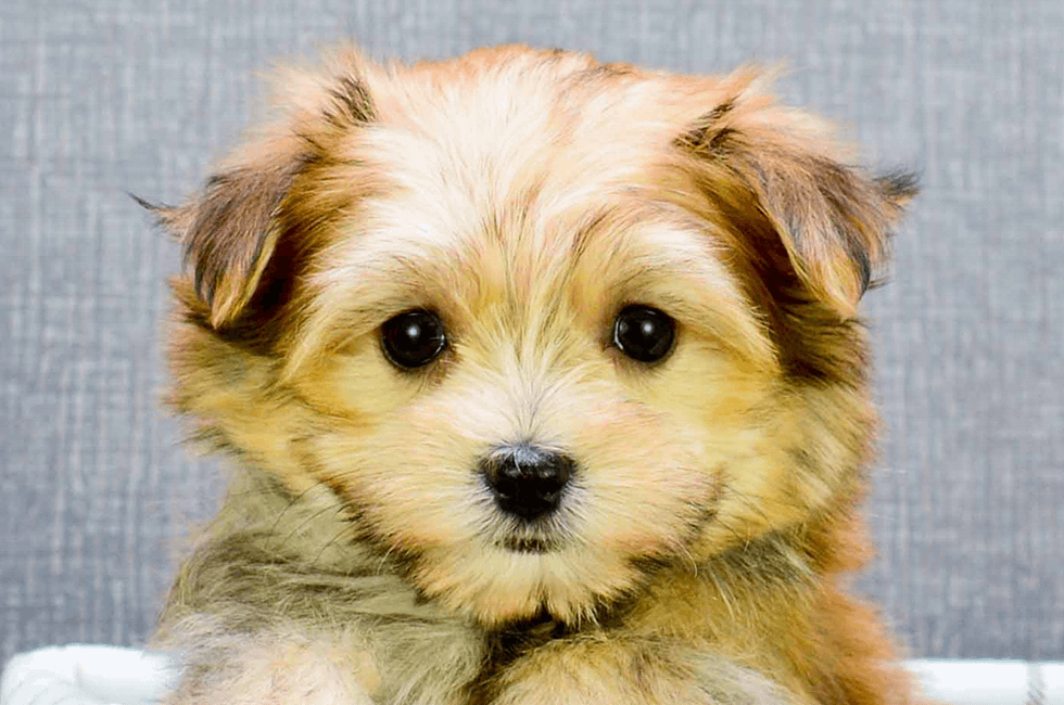 Morkie Puppies For Sale On The Spot Adoption In Ohio Us Shipping