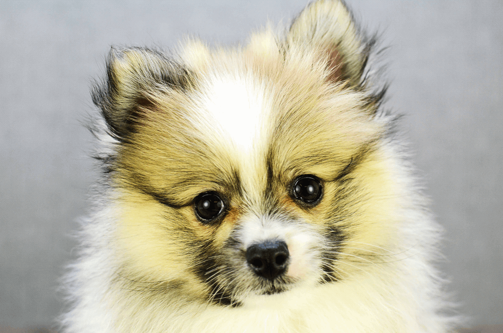 Pomeranian Puppies For Sale Teacup Breed Pom Puppies For Sale In Ohio