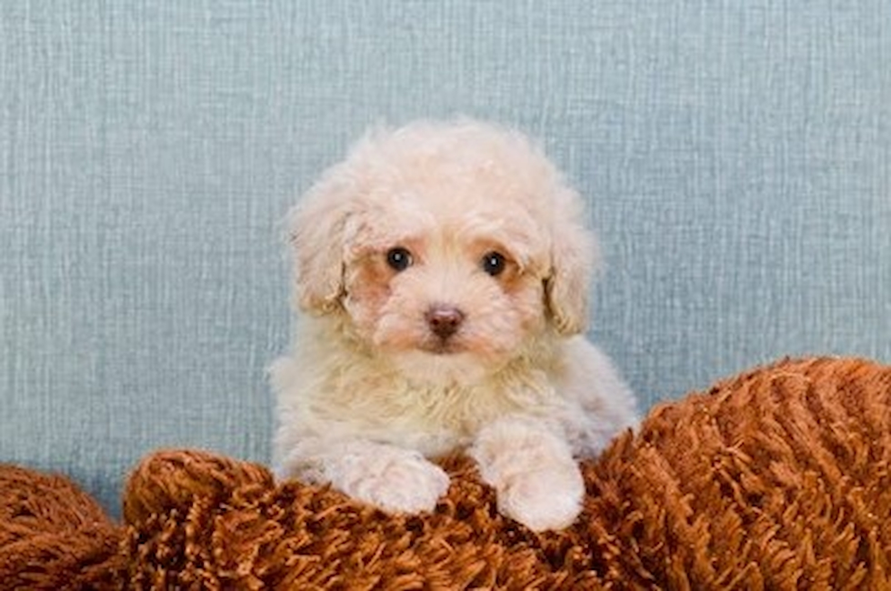 Poodle Puppies For Sale Small Toy Puppies For Sale In Ohio