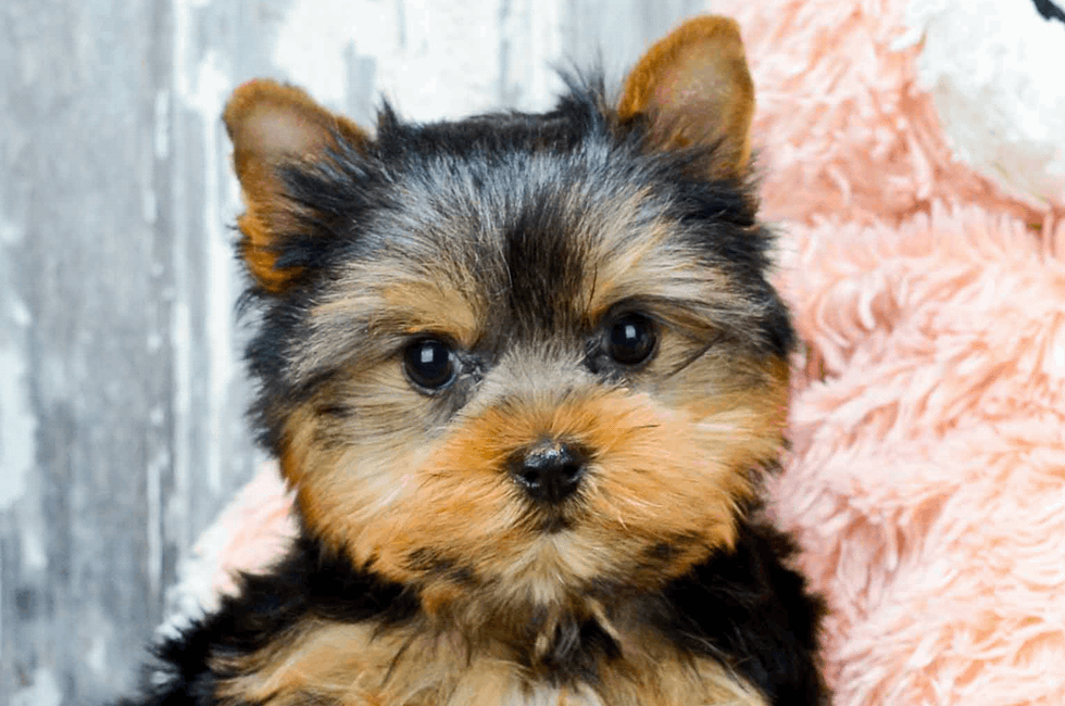 Yorkie Puppies Yorkshire Terriers For Sale Online