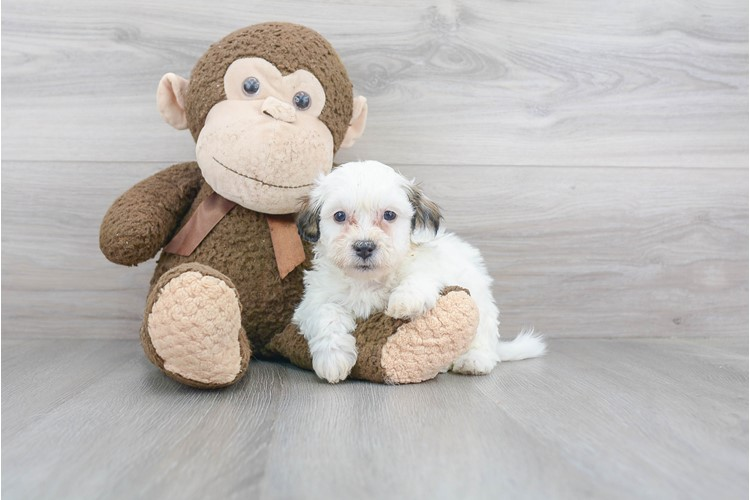 Teddy Bear Puppy For Sale Premier Pups