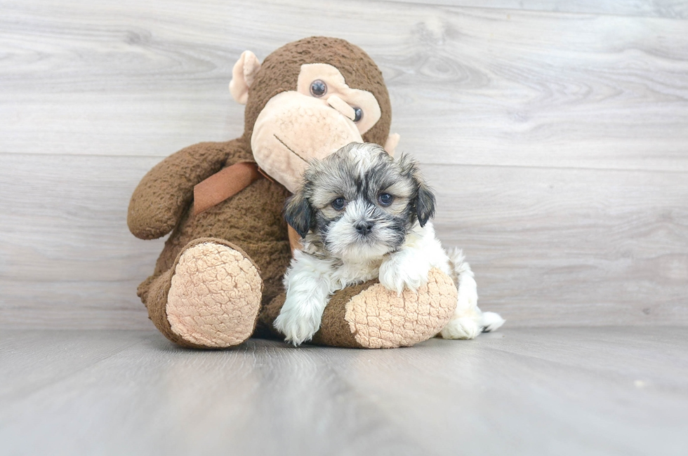 6 week old Teddy Bear Puppy For Sale Premier Pups