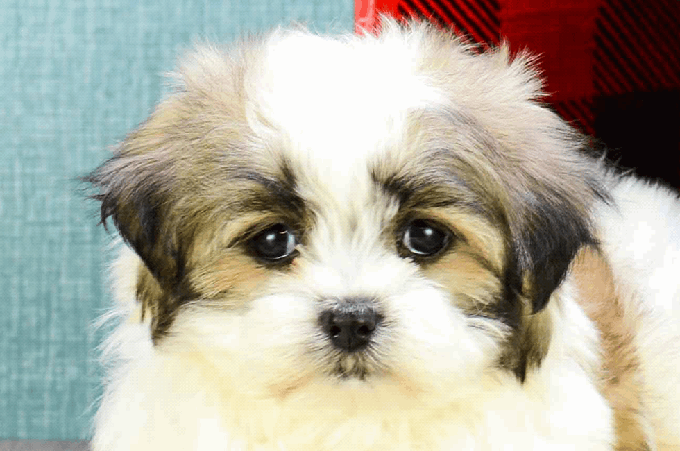 Teddy Bear Puppies For Sale Shichon Puppies Premierpupscom