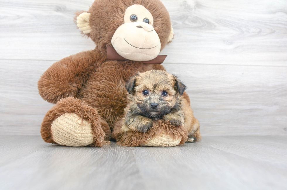 6 week old Yorkie Chon Puppy For Sale Premier Pups