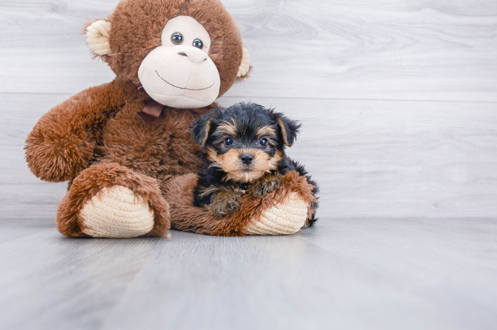 TEACUP YORKIE CHON PUPPY - 5 week old Yorkie Chon for sale