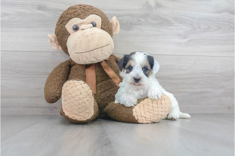 Yorkie Chon Puppy For Sale Premier Pups
