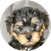 Yorkie Poo Puppy For Sale Premier Pups