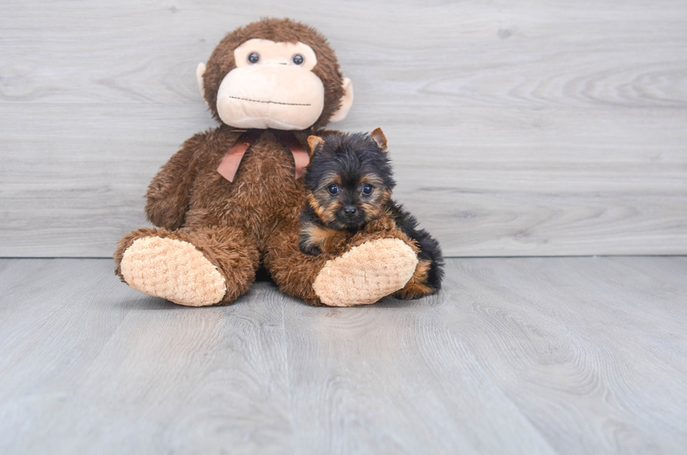 10 week old Yorkshire Terrier Puppy For Sale Premier Pups