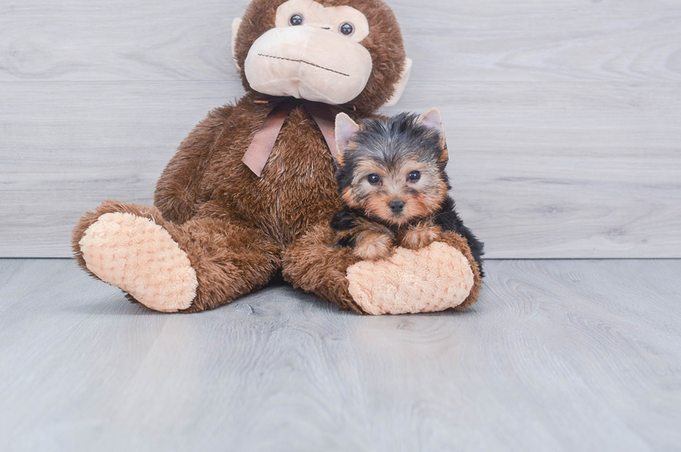 9 week old Yorkshire Terrier Puppy For Sale Premier Pups