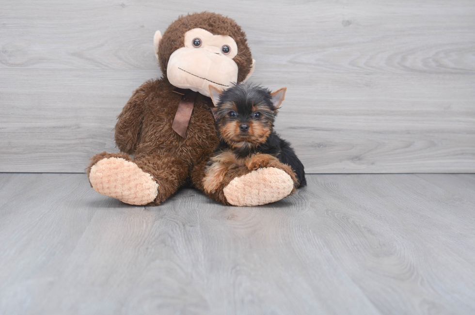 11 week old Yorkshire Terrier Puppy For Sale Premier Pups