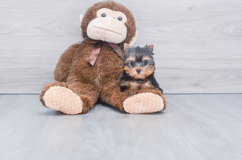 8 week old Yorkshire Terrier Puppy For Sale Premier Pups