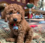 Bentley Mini Goldendoodle puppy