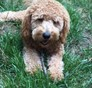 Bella Mini Goldendoodle puppy