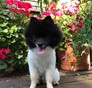 Jose Colon Pomeranian puppy