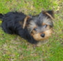 Sammi (formally Steph) Yorkshire Terrier puppy