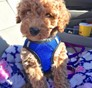 Lucy Lou Mini Goldendoodle puppy