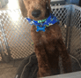 Oakley Mini Goldendoodle puppy